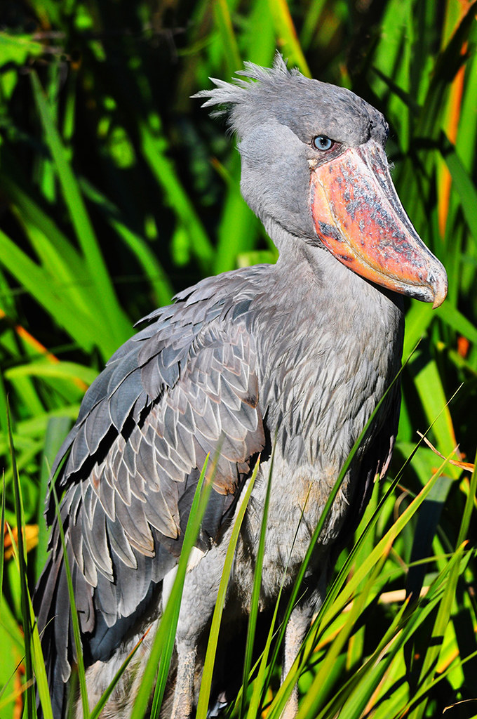 shoebill stork there are a pair of shoebill storks that