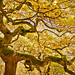 Dancing oak dryad - fall yellow