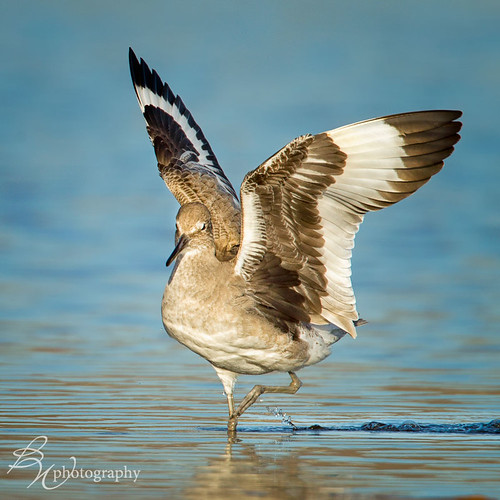 dancing willet | by betty wiley