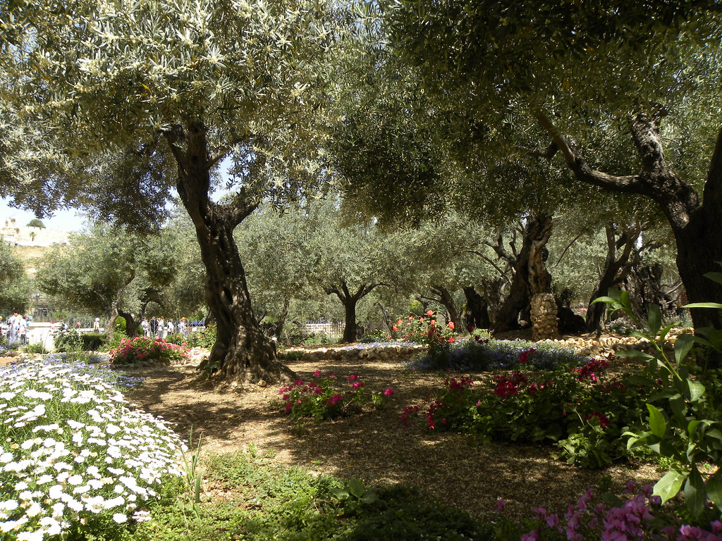 Olive trees in the traditional garden of gethsemane flickr for Age olive trees garden gethsemane