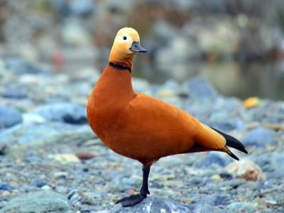 Tadorna ferruginea aka duck l 39 orange pato a la naranja for Pato a la naranja
