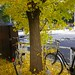 Bicycles covered with fallen Ginko leaves
