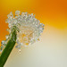 FROSTED DEWDROP 2012  #11