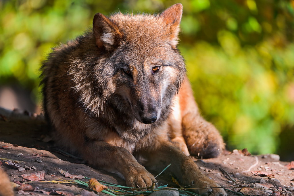 Lying wolf I | Again, some photos of the Zürich Zoo. One ...  Lying wolf I | ...
