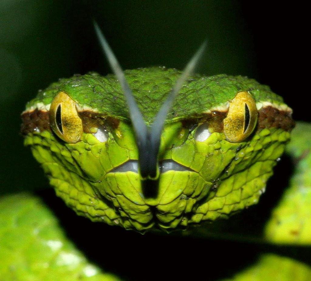 Wagler's Pit Viper (Tropidolaemus wagleri) | Lambusango ...