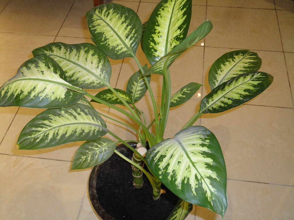 Ядовитые комнатные растения фото