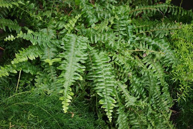 Nephrolepis exaltata 39 bostoniensis 39 flickr photo sharing - Nephrolepis exaltata ...