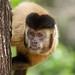 Macaco-prego_2012  28066