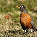 American Robin at Kenilworth