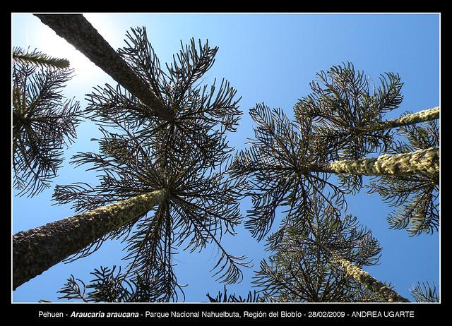 Araucaria araucana  - Nahuelbuta