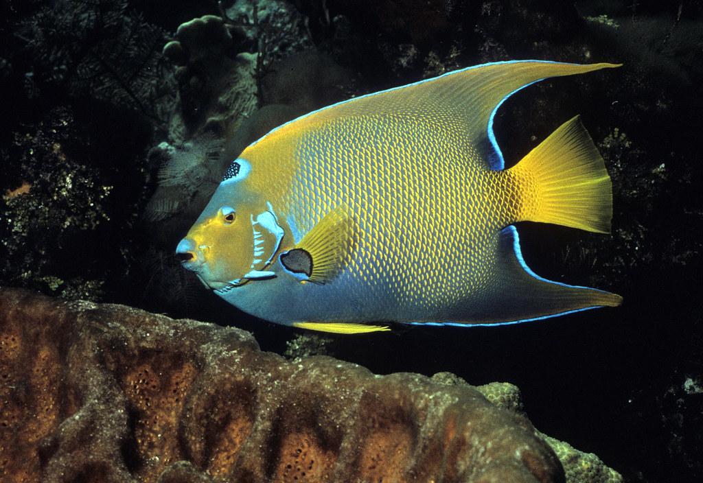Queen angelfish the queen angelfish is very important to for Queen angel fish