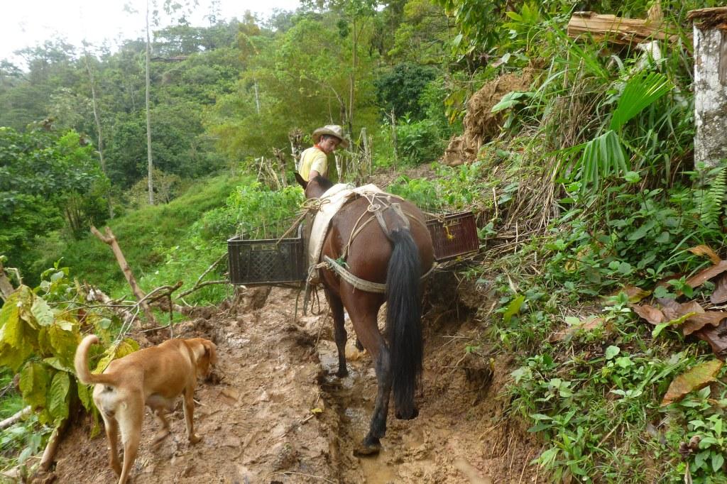 Transporte arboles reforestacion vivero mata de cacao 3 for Matas de viveros