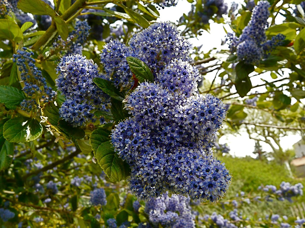 ceanothus arboreus trewithen blue jan riordan flickr. Black Bedroom Furniture Sets. Home Design Ideas