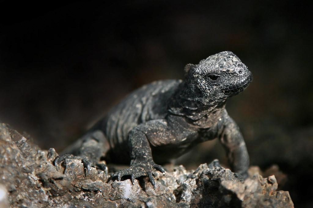 Baby Marine Iguana | Matt Robinson | Flickr