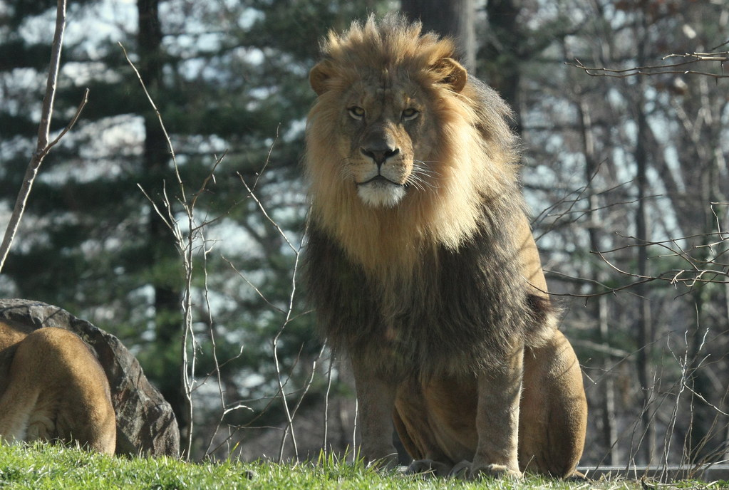 male lion weight - 1024×688