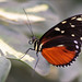 Golden Helicon or Tiger Longwing