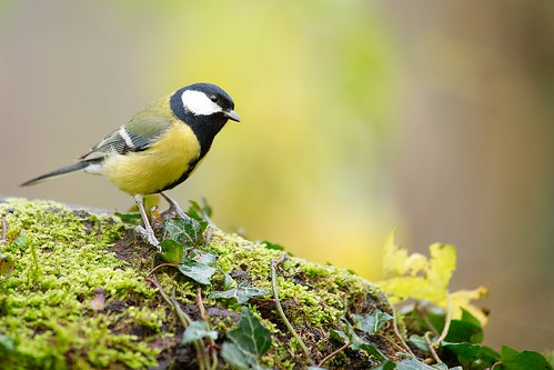 Mésange charbonnière, great tit | by Zed The Dragon