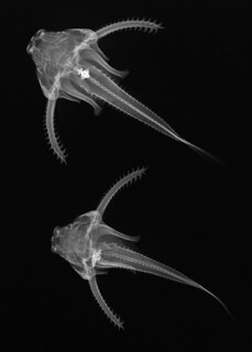 Physopyxis lyra - credit Sandra J. Raredon, Division of Fishes, NMNH | by Smithsonian National Museum of Natural History