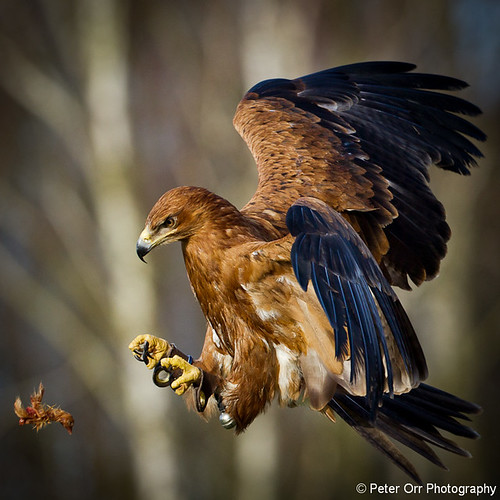 Tawny Eagle - Explored #67 | by peter orr photography
