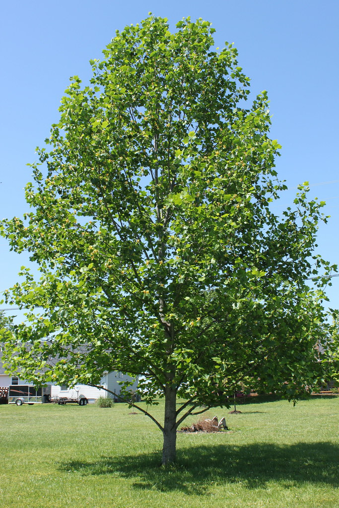 The Tulip Poplar Tree This Is The Tennessee State Tree