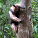 Tamandua cimbing up a tree