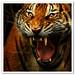 Zoo Negara Kuala Lumpur - Tiger