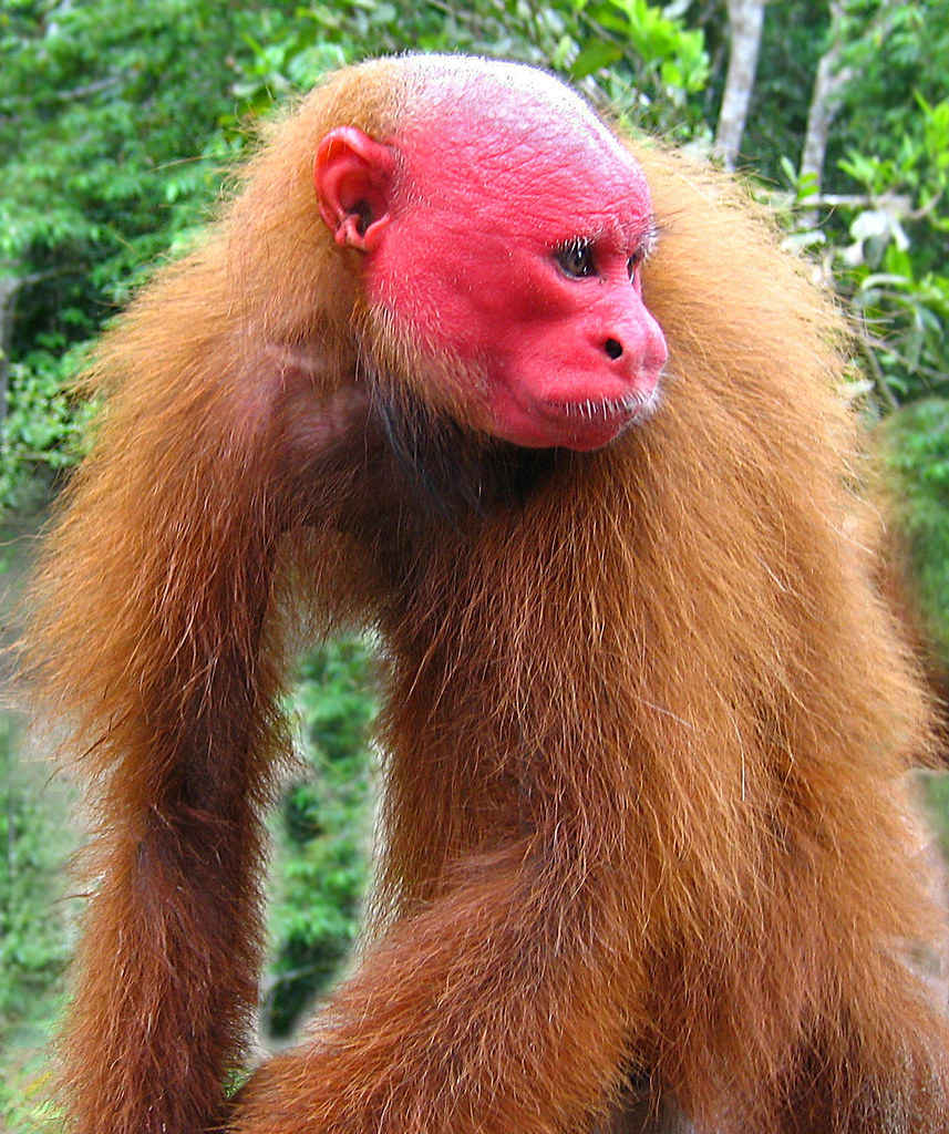 red faced uakari monkey this handsome guy lives in the per flickr. Black Bedroom Furniture Sets. Home Design Ideas