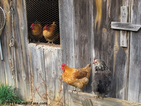 Hens hanging out | by Farmgirl Susan