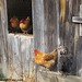 Hens hanging out