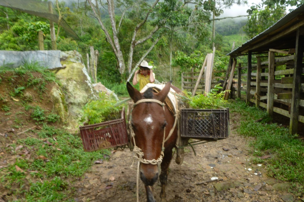 Transporte arboles reforestacion vivero mata de cacao 7 for Matas de viveros