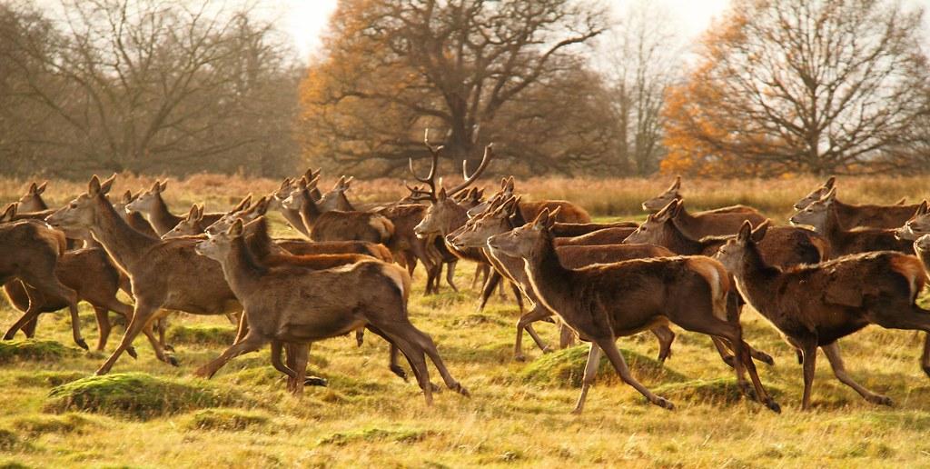 Red Deer Stampede In Richmond Park Where S Fenton Flickr