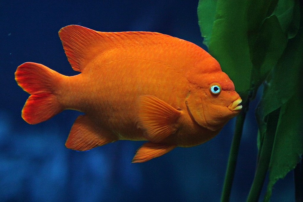 garibaldi this is california 39 s state marine fish the