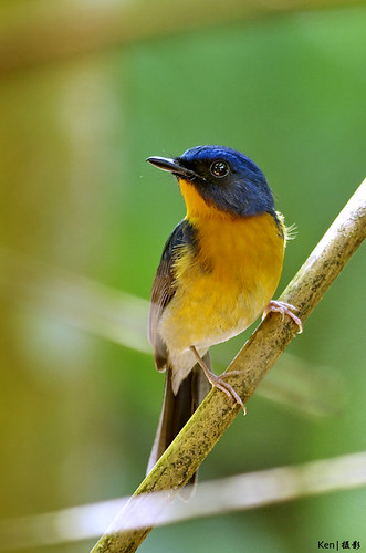 Hill Blue Flycatcher #2 | by Ken Goh thanks for 1,800,000+ views