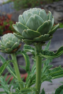 Artichoke PH 7-11-11 | by THE Holy Hand Grenade!