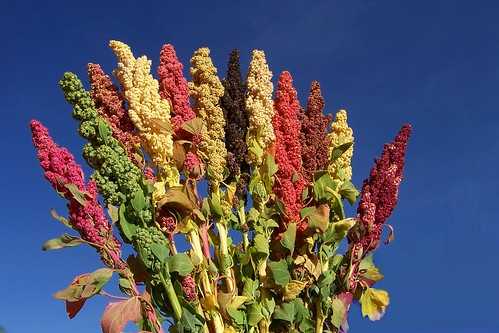 Quinoa (Chenopodium quinoa) - Neglected and Underutilized species | by Bioversity International