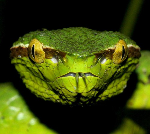 Pit viper snake wallpaper - photo#19