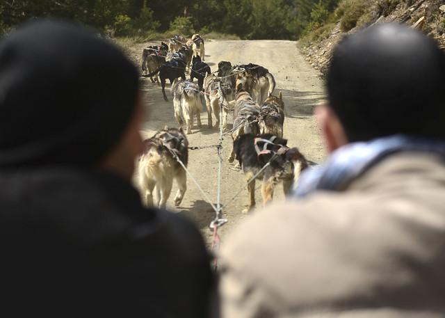 Tiro de perros en el trineo que nos llevo por las pistas forestales de Sierra Nevada