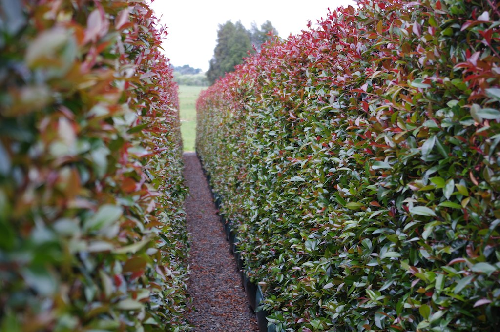 Syzygium Australe Brilliant Hedge From Twining Valley