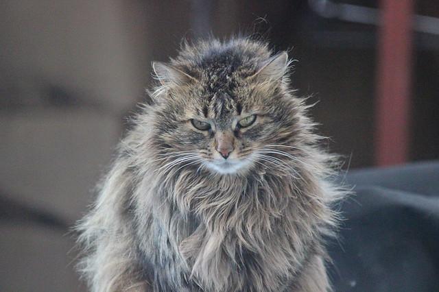 Rasta CatRasta Cat