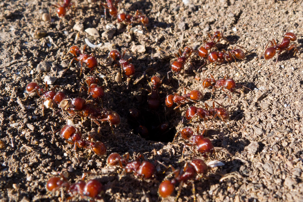 Complex foraging ecology of the red harvester ant and its