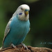 Blue Budgerigar 1 - Vancouver, British Columbia