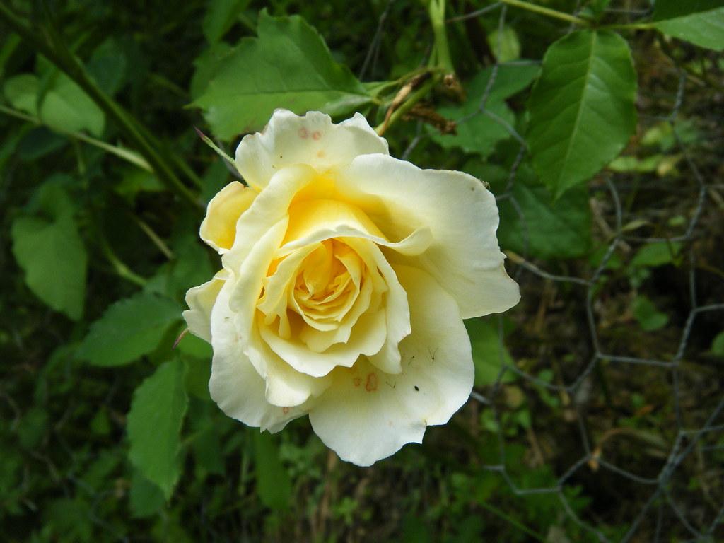 pilgrim rose the pilgrim david austin rose introduced uk. Black Bedroom Furniture Sets. Home Design Ideas