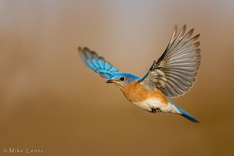 Eastern bluebird in flight - photo#4