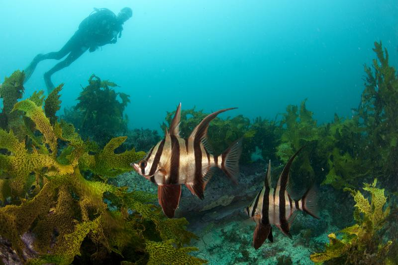 Old wives fish scuba diving underwater in sydney magic for Old wife fish