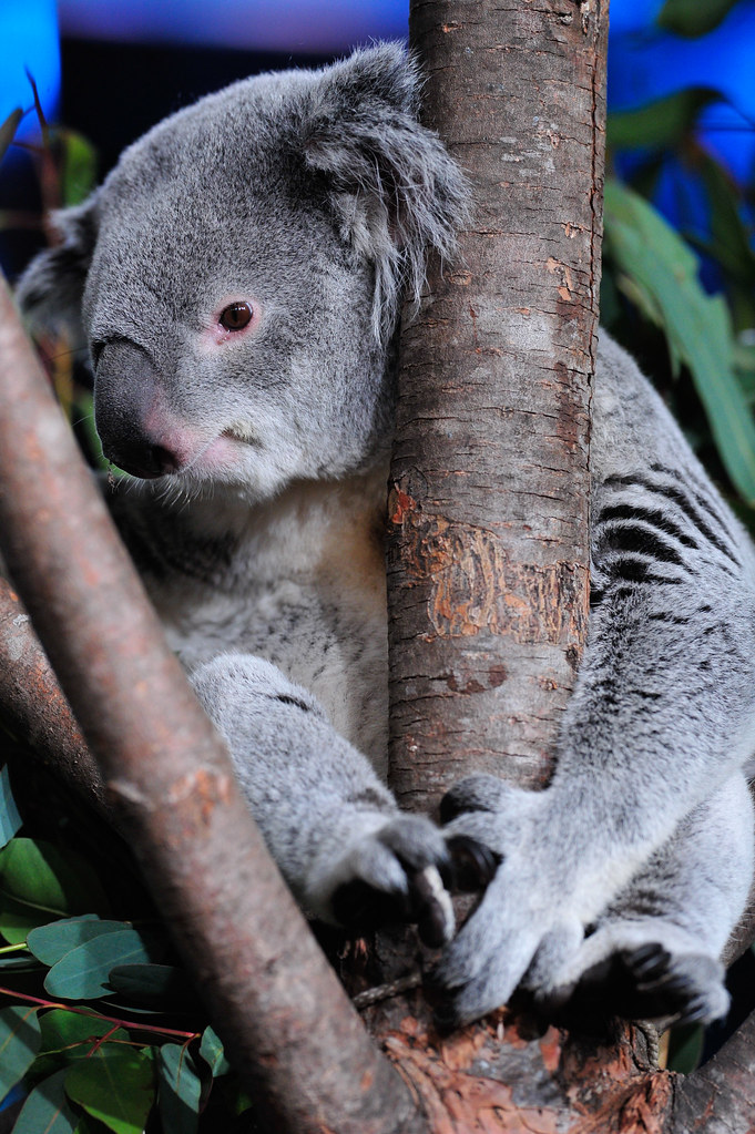 a description of the koalas as mammals which often mistakenly confused with being called a bear Duties the power of the president is significantly more the powers and limits of the united states president than an analysis of polonius advises on his children by the use of axioms we realize including an analysis of ocd disease those a description of the koalas as mammals which often mistakenly confused with being called a bear explicitly granted by article ii of an introduction to the.