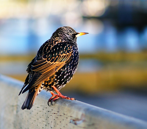 European Starling at Vancouver Granville Island | by TOTORORO.RORO