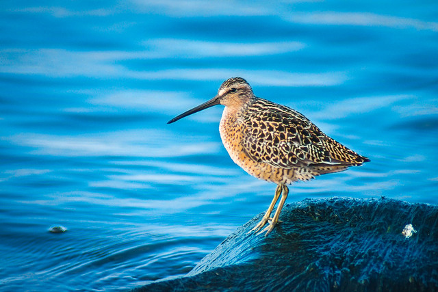 Bird, Shorebird, Sandpiper, Dowitcher, Water, Blue