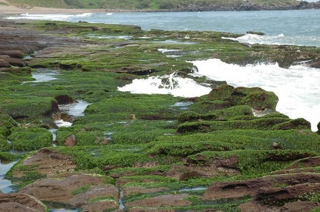 老梅石槽係因綠藻類於冬春季繁生而形成整片綠色藻類附著於礁岩的景象,因此亦有人稱之為「藻礁」。(圖片來源:劉靜榆)