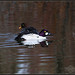 Common Goldeneye Pair in Breeding Plumage