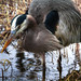 Great Blue Heron Eating Lunch